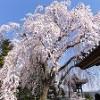 ●千光寺のしだれ桜 ほぼ満開