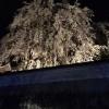 ●千光寺の枝垂れ桜